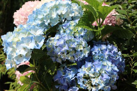Ballhortensie 'Three Sisters' ® (Blau) - Hydrangea macrophylla 'Three Sisters' ® (Blau)