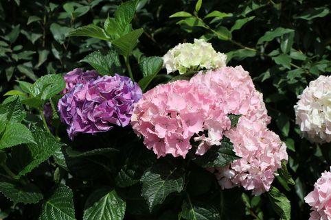 Ballhortensie 'Three Sisters' ® (Pastell) - Hydrangea macrophylla 'Three Sisters' ® (Pastell)