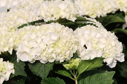 Ballhortensie Everbloom ®  'White Wonder' ® - Hydrangea macrophylla Everbloom ® 'White Wonder' ®