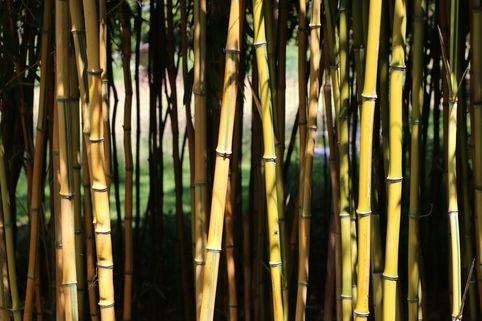 Bambus aureosulcata 'Spectabilis' - Phyllostachys aureosulcata 'Spectabilis'