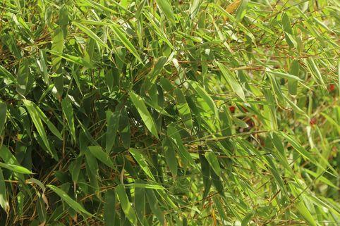 Bambus / Chinarohrgras / Muriel Schirmbambus 'Ivory Ibis' ® - Fargesia species 'Ivory Ibis' ®
