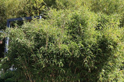 Bambus / Chinarohrgras / Muriel Schirmbambus 'Red Zebra' ® - Fargesia species 'Red Zebra' ®
