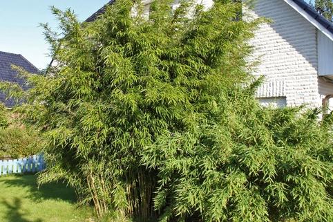 Bambus 'Jumbo' - Fargesia murielae 'Jumbo'