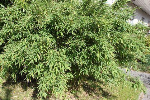 Bambus 'Simba' - Fargesia murielae 'Simba'