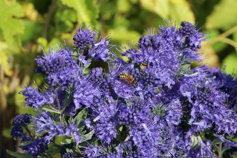 Bartblume 'Blauer Spatz' ® - Caryopteris clandonensis 'Blauer Spatz' ®