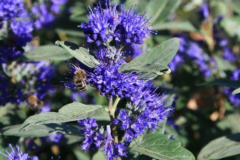 Bartblume 'Grand Bleu' ® - Caryopteris clandonensis 'Grand Bleu' ®