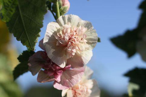 Halbstrauchige Stockrose 'Parkfrieden' - Alcalthaea suffrutescens 'Parkfrieden'