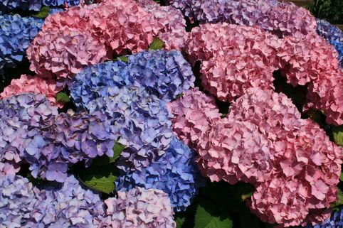 Ballhortensie 'Bouquet Rose' - Hydrangea macrophylla 'Bouquet Rose'