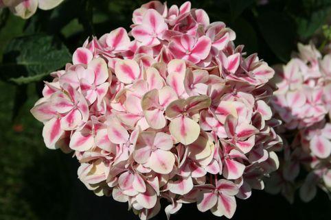 Bauernhortensie 'Camilla' - Hydrangea macrophylla 'Camilla'