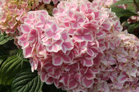 Ballhortensie Forever & Ever 'Peppermint' ® - Hydrangea macrophylla Forever & Ever 'Peppermint' ®