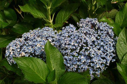 Fliederhortensie / Ballhortensie 'Ayesha' (S) - Hydrangea macrophylla 'Ayesha' (S)