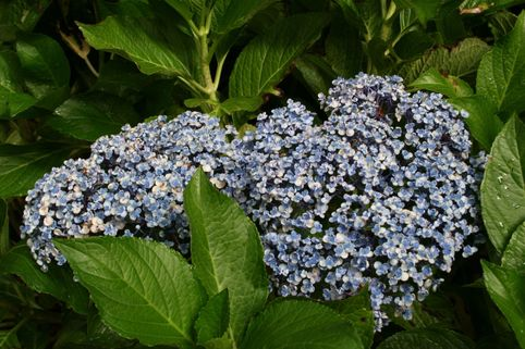 Flieder-Hortensie 'Ayesha' (S) - Hydrangea macrophylla 'Ayesha' (S)
