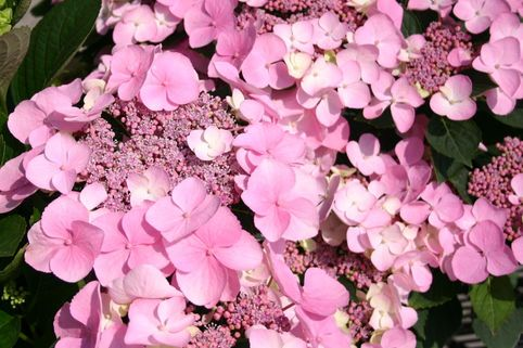 Bauernhortensie 'Mariesii Perfecta' - Hydrangea macrophylla 'Mariesii Perfecta'