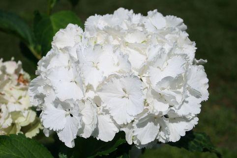 Ballhortensie 'Nymphe' - Hydrangea macrophylla 'Nymphe'