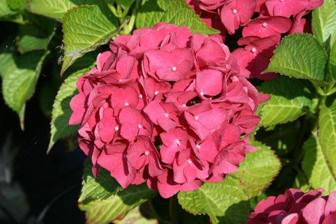 Ballhortensie 'Red Baron' - Hydrangea macrophylla 'Red Baron'