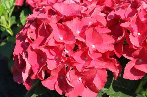 Ballhortensie Royalty® Collection 'Red Beauty' ® - Hydrangea macrophylla Royalty® Collection 'Red Beauty' ®