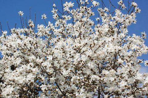 Baum-Magnolie Kobushi Magnolie