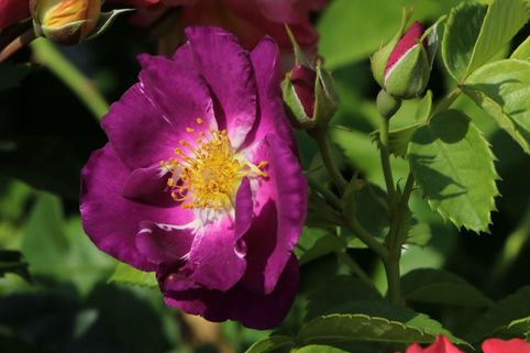 Beet-, Strauchrose 'Rhapsody in Blue' ® - Rosa 'Rhapsody in Blue' ®