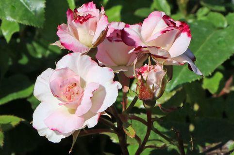 Beetrose 'Abigaile' ® - Rosa 'Abigaile' ®