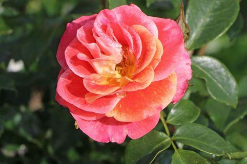 Beetrose 'Airbrush' ® - Rosa 'Airbrush' ®