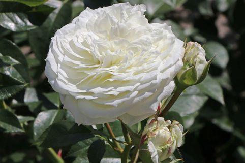 Beetrose 'Alabaster' ® - Rosa 'Alabaster' ®
