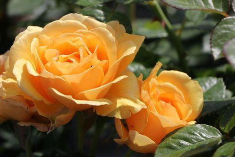 Beetrose 'Amber Queen' ® - Rosa 'Amber Queen' ®