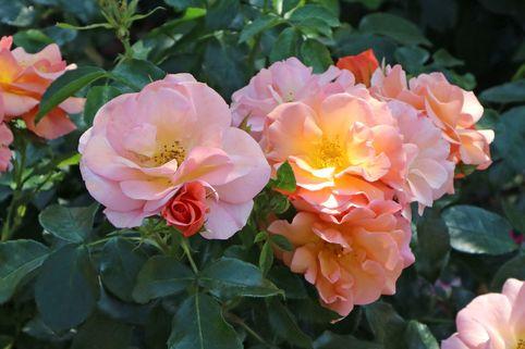 Beetrose 'Aprikola' ® - Rosa 'Aprikola' ® ADR-Rose
