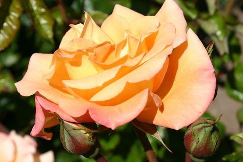 Beetrose 'Australian Gold' ® - Rosa 'Australian Gold' ®
