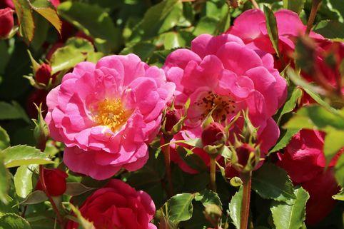 Beetrose 'Bad Wörishofen' ® / 'Pink Emely' ® - Rosa 'Bad Wörishofen' ® / 'Pink Emely' ® ADR-Rose