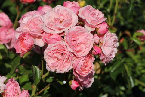 Beetrose 'Bailando' ® - Rosa 'Bailando' ®