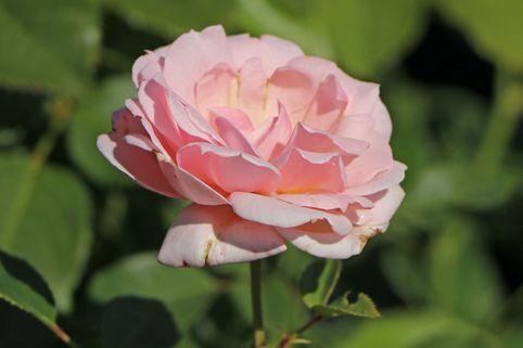 Beetrose 'Ballade' ® - Rosa 'Ballade' ®