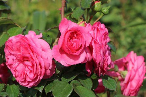 Beetrose 'Baronesse' ® - Rosa 'Baronesse' ®