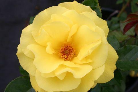 Beetrose 'Bayerngold' ® - Rosa 'Bayerngold' ®