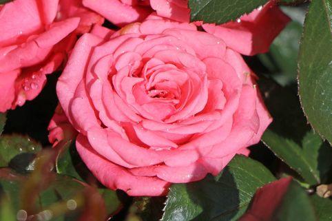 Beetrose 'Bella Rosa' ® - Rosa 'Bella Rosa' ®