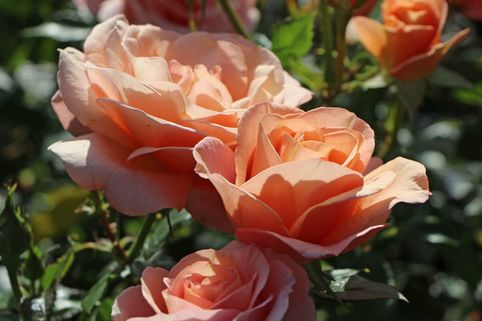Beetrose 'Bengali' ® - Rosa 'Bengali' ® ADR-Rose