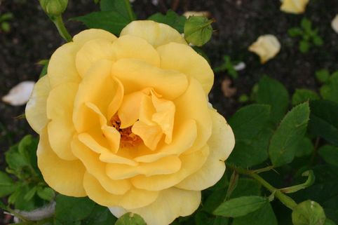 Beetrose 'Benita' ® - Rosa 'Benita' ®