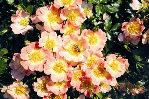 Beetrose 'Bienenweide® Apricot' - Rosa 'Bienenweide® Apricot'
