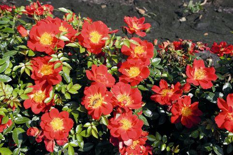 Beetrose 'Bienenweide®-Rose Hellrot' - Rosa 'Bienenweide®-Rose Hellrot'