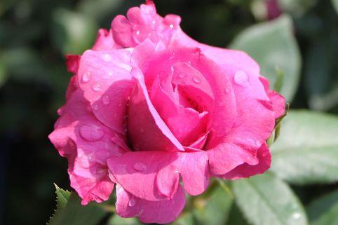 Beetrose 'Blue Parfum' ® - Rosa 'Blue Parfum' ®