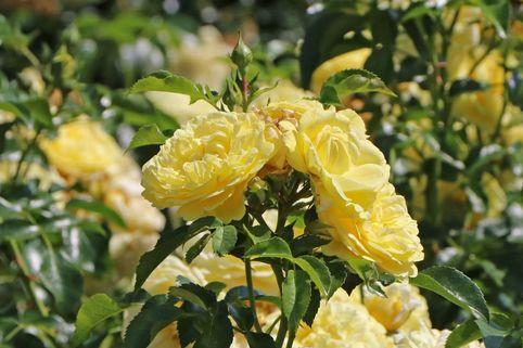 Beetrose / Bodendecker-Rose 'Solero' ® - Rosa 'Solero' ® ADR-Rose