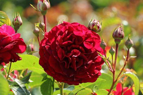 Beetrose 'Bordeaux' ® - Rosa 'Bordeaux' ®