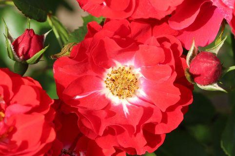 Beetrose 'Canzonetta' ® - Rosa 'Canzonetta' ®  ADR-Rose