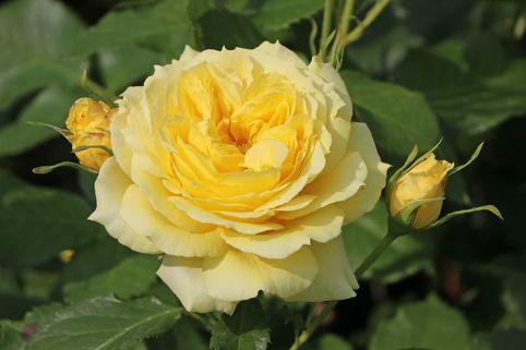Beetrose 'China Girl' ® - Rosa 'China Girl' ®