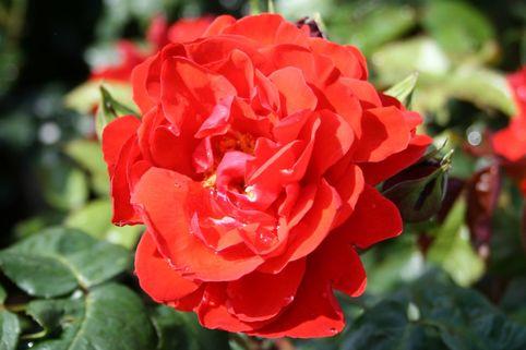 Beetrose 'Chorus' ® - Rosa 'Chorus' ®