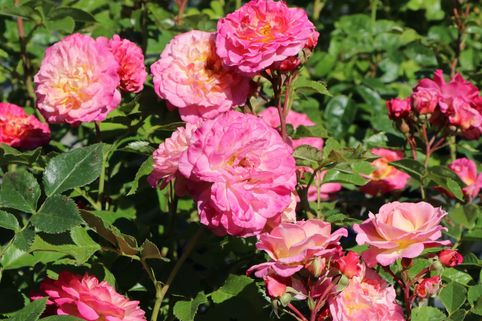Beetrose 'Country Girl' ® - Rosa 'Country Girl' ®