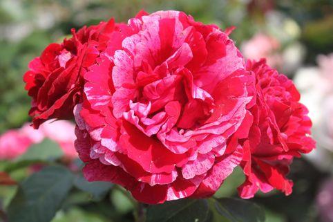 Beetrose 'Deep Impression' ® - Rosa 'Deep Impression' ®
