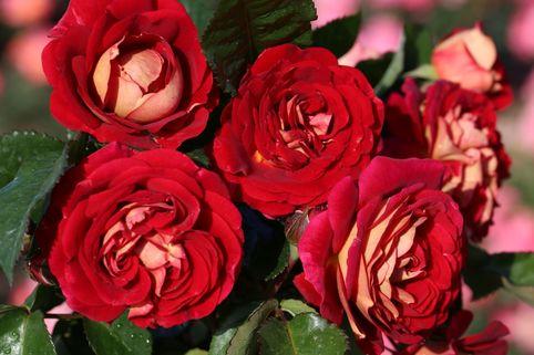 Beetrose 'Die Sehenswerte' ® - Rosa 'Die Sehenswerte' ®