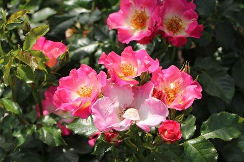 Beetrose 'Dolomiti' ® - Rosa 'Dolomiti' ® ADR-Rose
