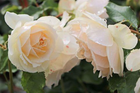 Beetrose 'Edelweiß' ® - Rosa 'Edelweiß' ®