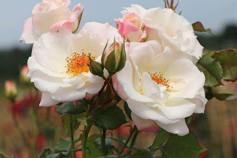 Beetrose 'Eisprinzessin' ® - Rosa 'Eisprinzessin' ®